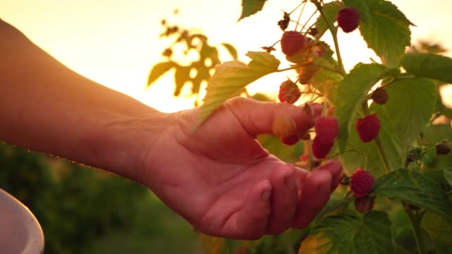 vídeos de stock e filmes b-roll de close-up of a female hand that gently snaps off a ripe raspberries from a bush on a sunset background, harvesting raspberries on a plantation, raspberry picker - framboesa