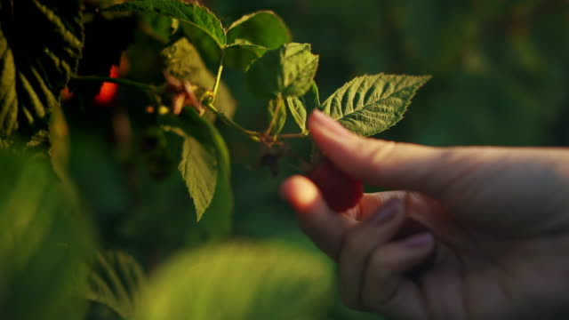 Close-up of a female hand that gently snaps off a ripe raspberries from a bush on a sunset background, harvesting raspberries on a plantation, raspberry picker stock video