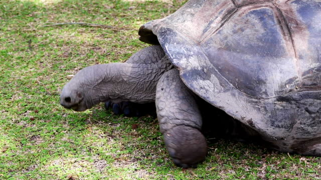 Closeup of a giant tortoise at Curieuse Island, Seychelles Closeup of a giant tortoise at Curieuse Island, Seychelles giant tortoise stock videos & royalty-free footage