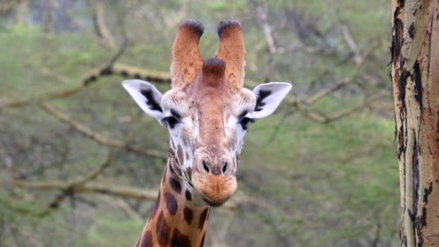 närbild av en giraff äta - single pampas grass bildbanksvideor och videomaterial från bakom kulisserna
