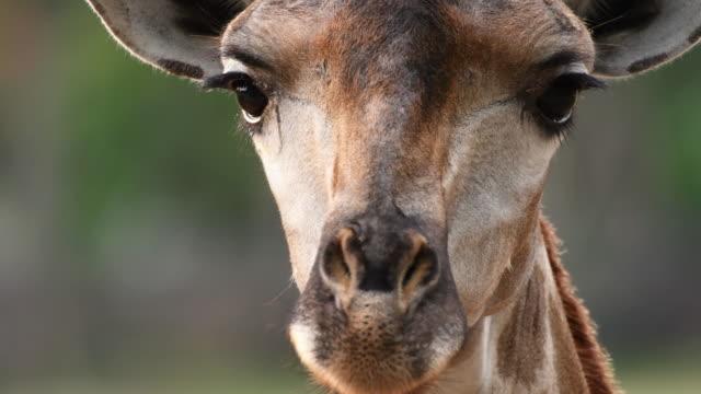 vidéos et rushes de 4 k : gros plan d'une tête de girafe - tête d'un animal
