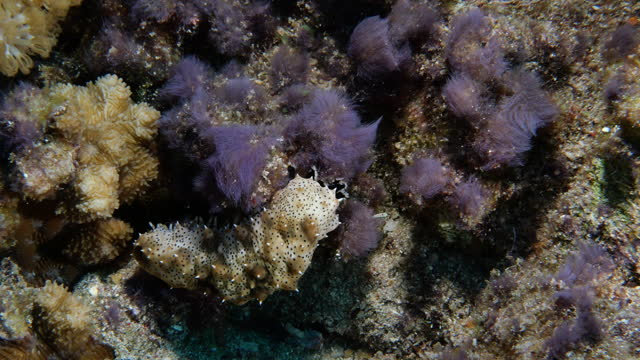 Close-up of a Graeffe's sea cucumber (Pearsonothuria graeffei) with black tentacles undersea