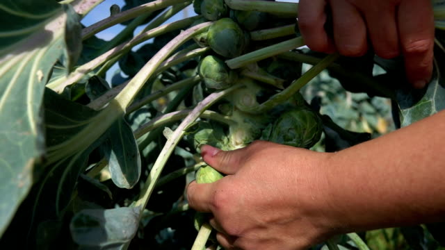 vidéos et rushes de plan rapproché d'une main mettant de côté les feuilles et récoltant des choux de brussel mûrs - tige d'une plante