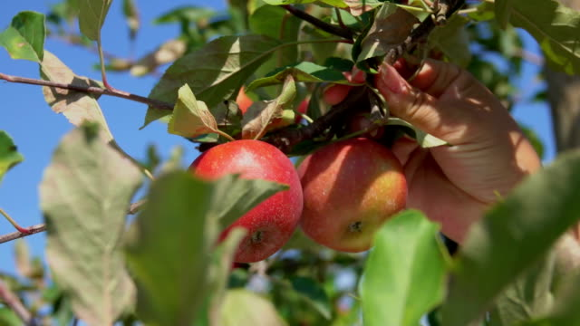 Close-up of a hand torn branches with ripe apples video