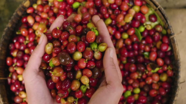 close-up of a hand touching a handful of coffee berries to smell and consistency. - piantagione video stock e b–roll
