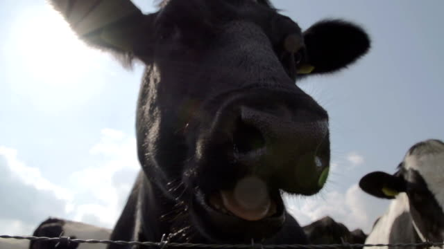 Closeup Of A Happy Cow video
