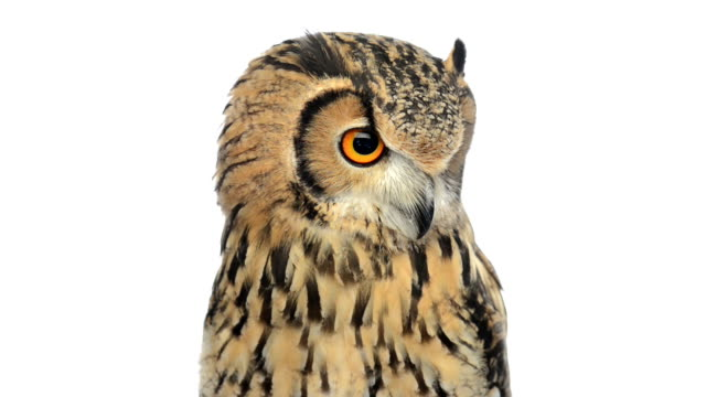 stockvideo's en b-roll-footage met close-up of a  indian eagle owl looking around - uil