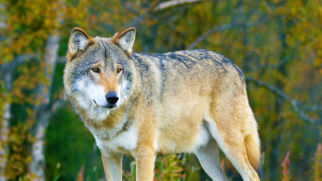 close-up of a large male grey wolf stands in the forest - lupo video stock e b–roll