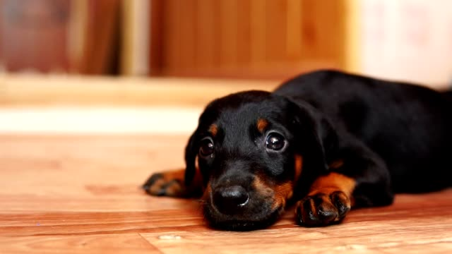 Close-up of a little puppy. A dog breed doberman crawling on the floor. A dog breed doberman crawling on the floor. Close-up of a little puppy. obedience stock videos & royalty-free footage