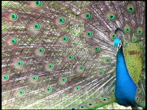 Top Peacock Sound Stock Videos and Royalty-Free Footage - iStock