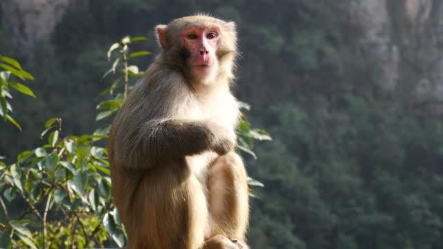 Nahaufnahme einer eine ältere Affe – Video