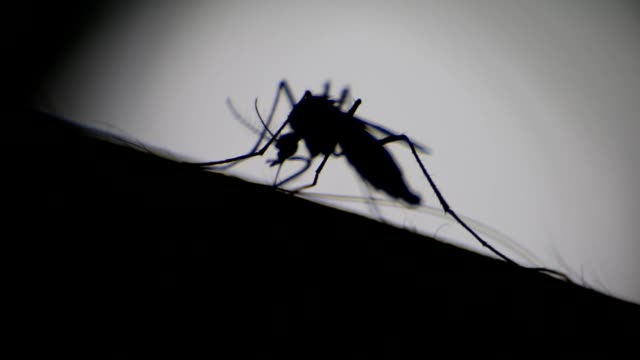 close-up of a mosquito sucking blood on human skin, mosquito is carrier of malaria/ encephalitis/ dengue, macro shot - zanzare video stock e b–roll