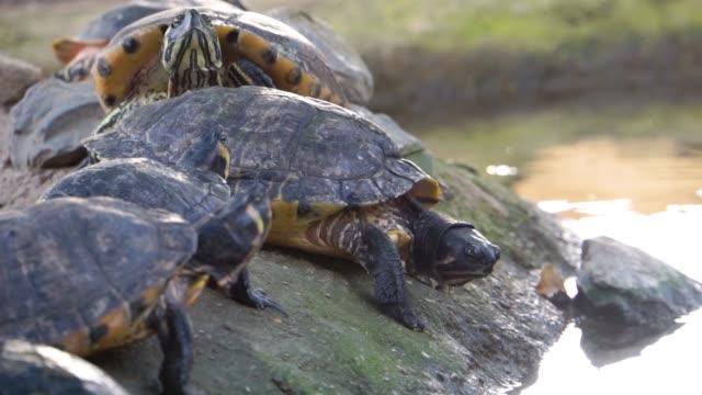 closeup of a nest of cumberland slider turtles, popular marsh terrapin specie from America