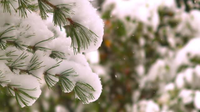 крупным планом сосны со снегом во время падения снега калгари, альберта. канада - хвойное дерево стоковые видео и кадры b-roll