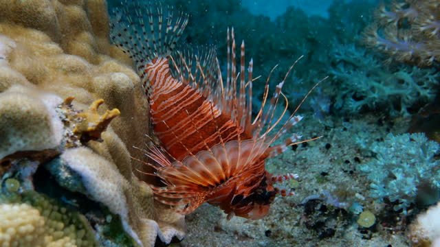 Close-up of a Ragged-finned lion fish at undersea coral reef in Taiwan
