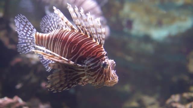 nahaufnahme eines roten löwenfisches, der unter wasser schwimmt, beliebte tropische fischspezies aus dem indo pazifischen ozean - ichthyologie stock-videos und b-roll-filmmaterial