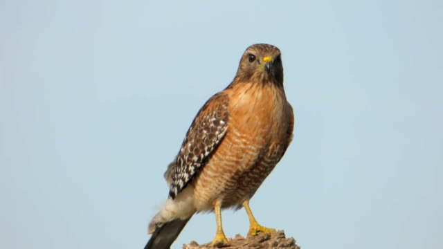Closeup of a Red-Shouldered Hawk Beautiful portrait of a Red-Shouldered Hawk posed on a stump with a blue sky background hawk bird stock videos & royalty-free footage