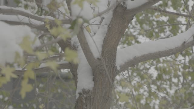 Closeup of a snow covered trunk. Snow-covered green trees in winter