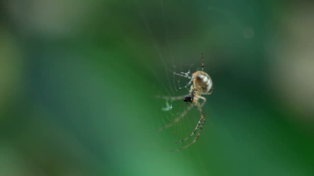 Close-up of a spider eating fly video