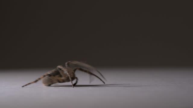 närbild av en spindel som flyttar från vänster till höger på ramen. isolerade på grå bakgrund. - spindel arachnid bildbanksvideor och videomaterial från bakom kulisserna