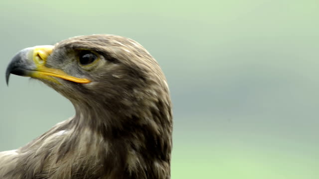 Close-up of a Steppe eagle looking around video