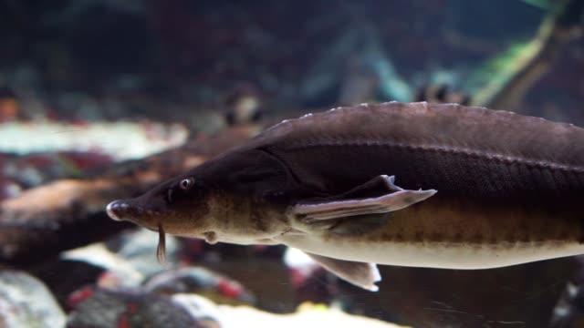 nahaufnahme eines sterlets schwimmen unter wasser, beliebte stör aus den gewässern der eurasien, gefährdete tierart - ichthyologie stock-videos und b-roll-filmmaterial