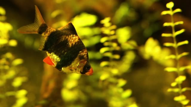 nahaufnahme eines tiger-barbs, tropische fischart aus indonesien, beliebtes haustier in aquaculture - ichthyologie stock-videos und b-roll-filmmaterial