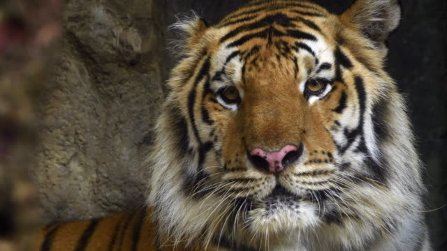 vidéos et rushes de 4 k : gros plan d'une tête de tigre - tête d'un animal
