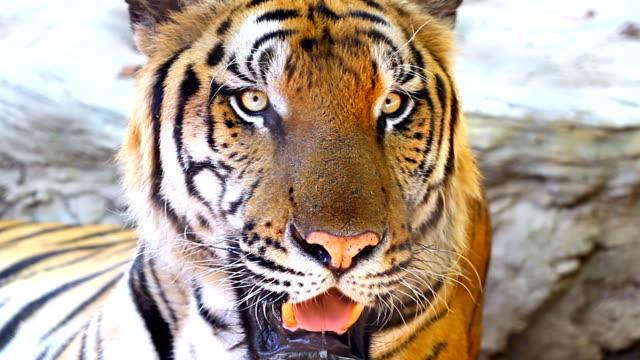 vídeos y material grabado en eventos de stock de foto de un tigre - tigre