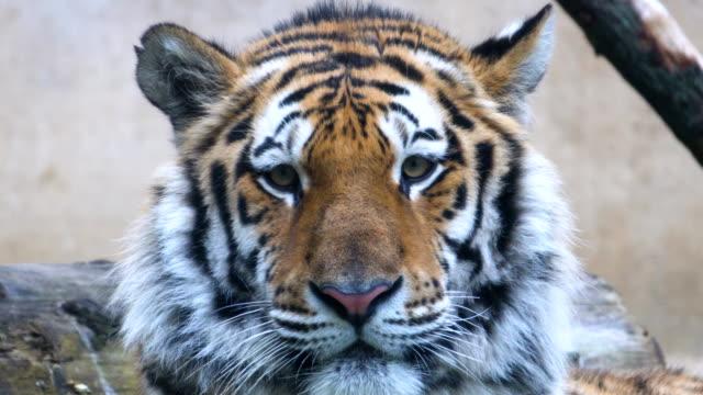 トラのクローズアップ - 野生動物旅行点の映像素材/bロール