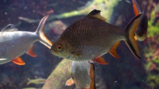 nahaufnahme eines tinfoil-barbs unter wasser, beliebte tropische fischspezies aus asien - ichthyologie stock-videos und b-roll-filmmaterial