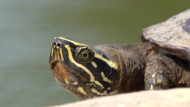 Close-up of a turtle Video Close-up of a turtle. 4K(UHD) 3840x2160 format. turtle stock videos & royalty-free footage