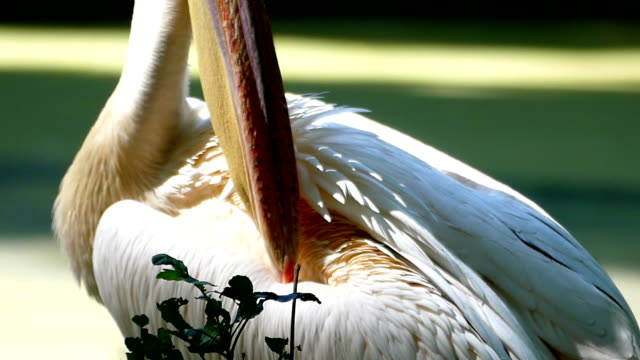 A close-up of a white pelican cleaning its back on a lake bank in summer video