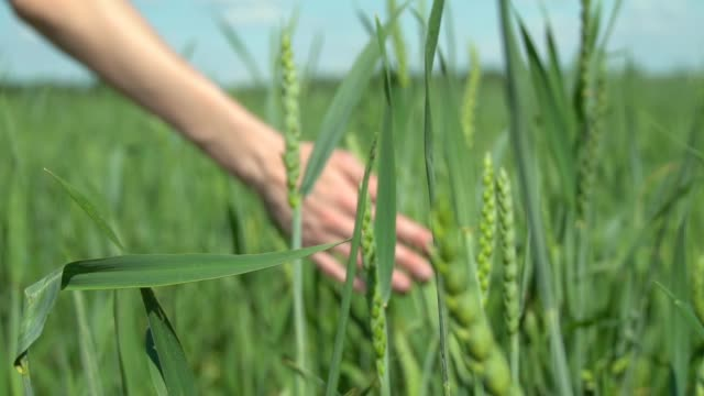 Close-up of a woman's hand running through a wheat field. green wheat.