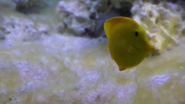 su altında yüzen sarı tang balık yakın çekim, hawaii popüler tropikal specie - i̇htiyoloji stok videoları ve detay görüntü çekimi