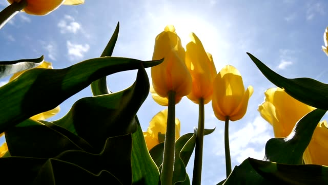 Close-up of a yellow tulip through the sun. Close-up of a yellow tulip through the sun tulip stock videos & royalty-free footage