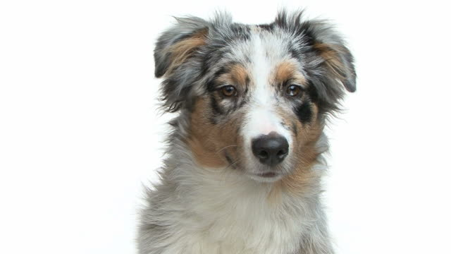 Close-up of a young australian shepherd looking at the camera video