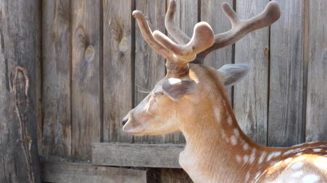 close-up of a young deer turns its head. - poroże filmów i materiałów b-roll