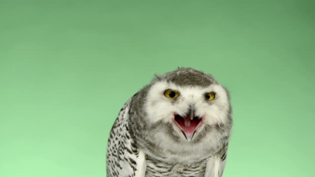Close-up of a young snowy owl looking around, green key video