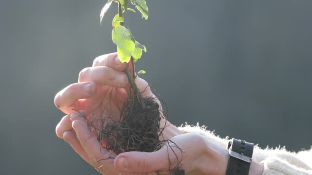 Close-up of Adult Woman Holding Tree Seedling in Palm of Hand Outdoors - Stock Video video