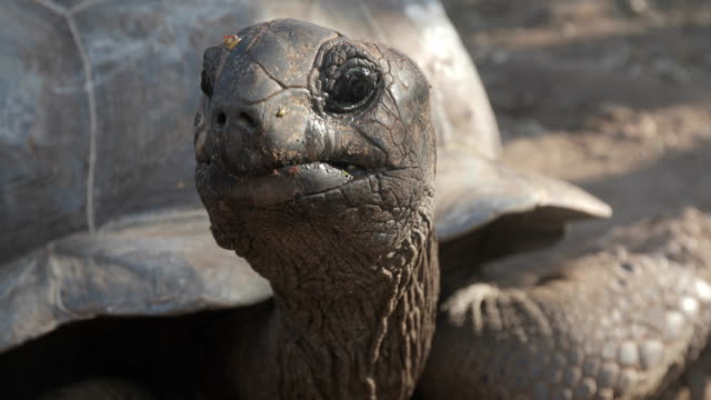 Close-up of Aldabra Tortoise Looking at Camera Close-up of Aldabra Tortoise Looking at Camera. tortoise stock videos & royalty-free footage