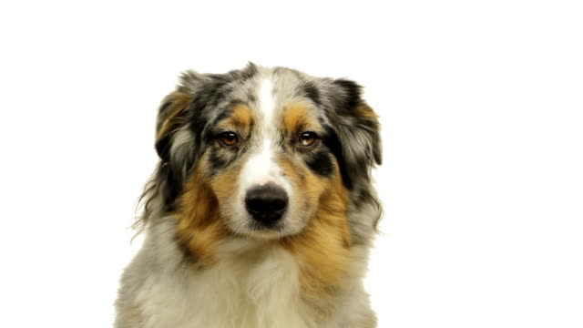 Close-up of an australian shepherd video
