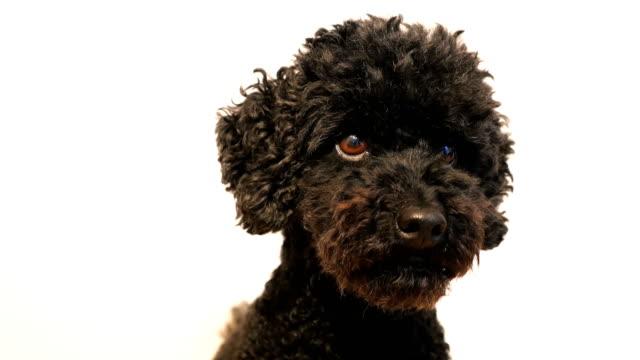 vidéos et rushes de gros plan d'un caniche noir en hochant la tête - tête d'un animal