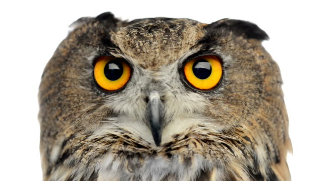 Close-up of an Eurasian eagle owl looking and winking video