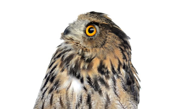 stockvideo's en b-roll-footage met close-up of an eurasian eagle owl looking around - uil