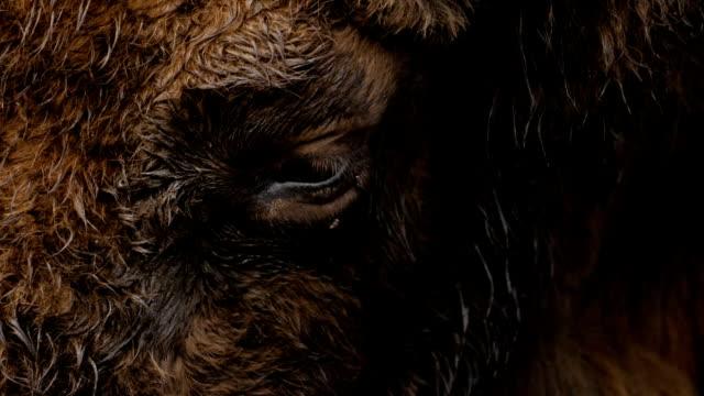 Close-up of aurochs eye