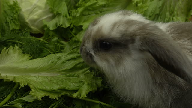 Closeup of baby lop-eared rabbit grazing on the green field.