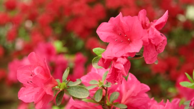 close-up of beautiful pink azaleas (rhododendron) flowers in springtime. - pistillo video stock e b–roll
