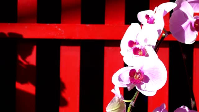 Closeup of beautiful pink orchid. The shooting location is in the temple. The blurred background is a red wood railing.