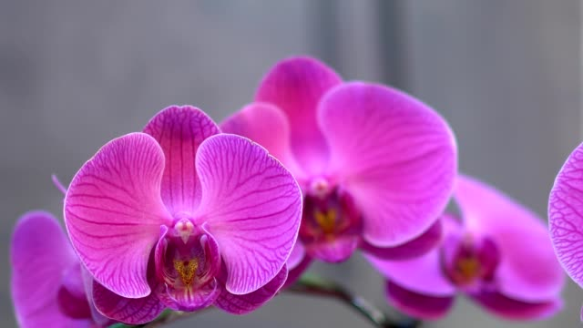 Closeup of beautiful pink orchid. The shooting location is in the temple. The background is a gray stone wall.
